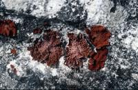 Lasallia papulosa
